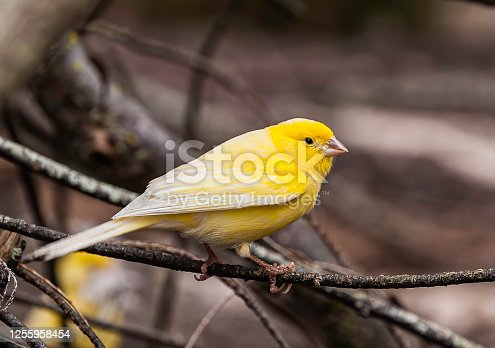 The Domestic Canary, (Serinus canaria) is a domesticated form of the wild Canary, a small songbird in the finch family originating from the Macaronesian Islands (Azores, Madeira and Canary Islands.)  It has become established on Midway Atoll where it was first introduced in 1911. Papahānaumokuākea Marine National Monument, Midway Island, Midway Atoll, Hawaiian Islands