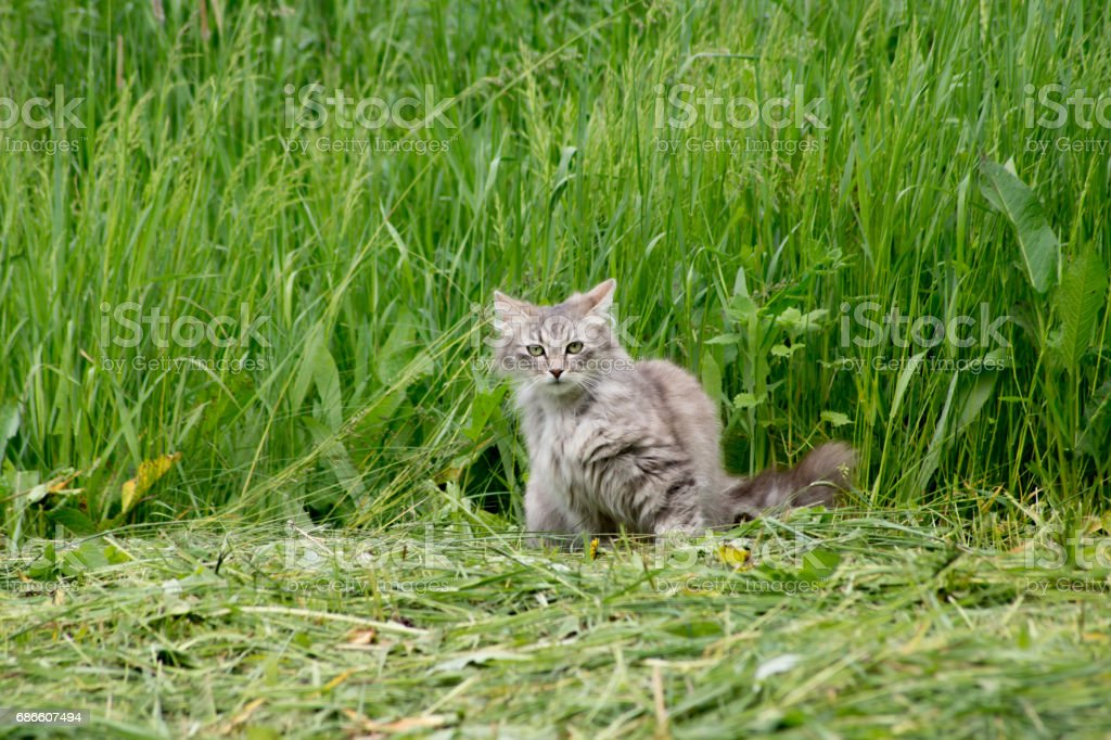 The domestic cat hunt royalty-free stock photo