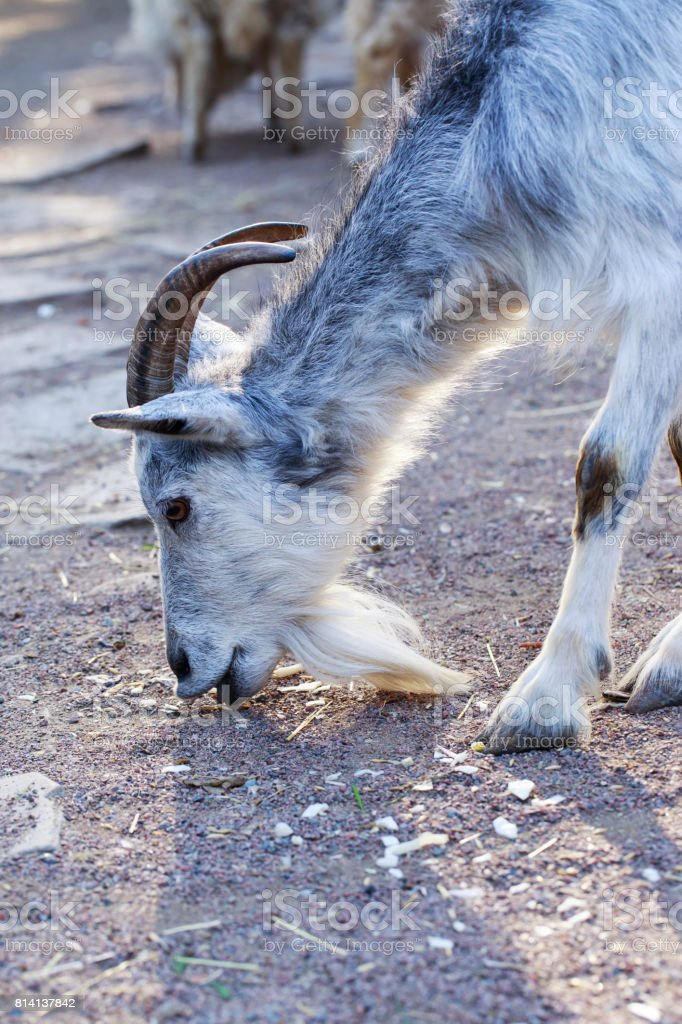 the domestic goat stock photo