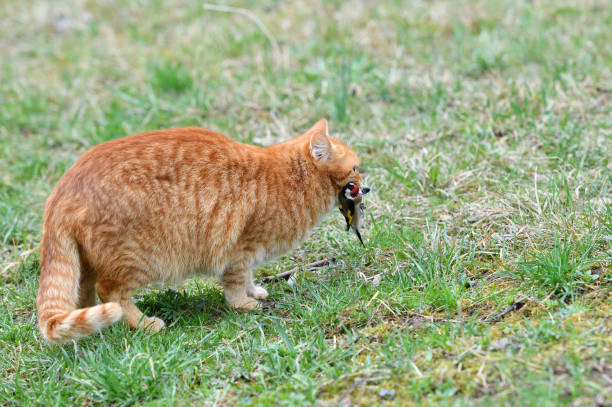 The domestic red cat caught the bird and holds it in its mouth stock photo