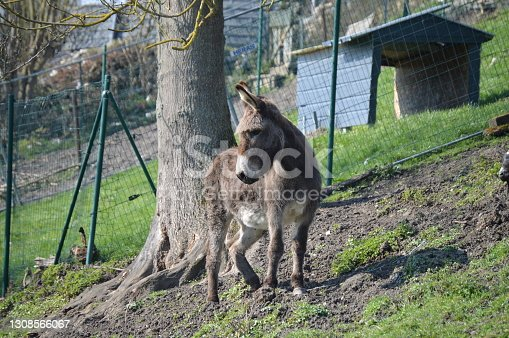 istock The donkey . 1308566067