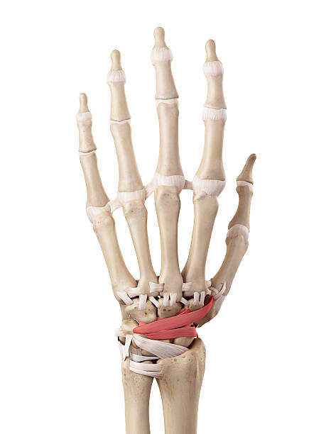 The dorsal intercarpal ligaments medical accurate illustration of the dorsal intercarpal ligaments dorsal fin stock pictures, royalty-free photos & images