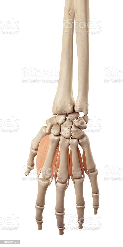 the dorsal interosseous muscles stock photo
