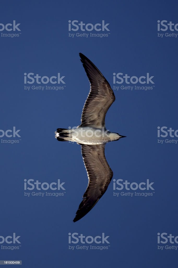 the down of sea gull royalty-free stock photo