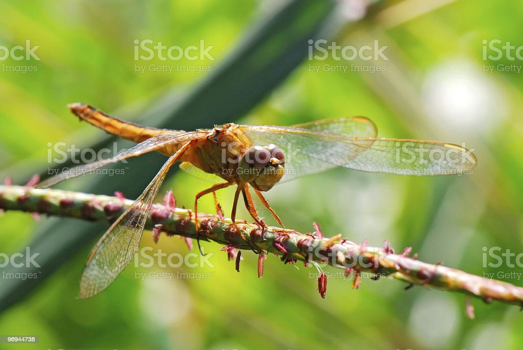 the dragonfly royalty-free stock photo