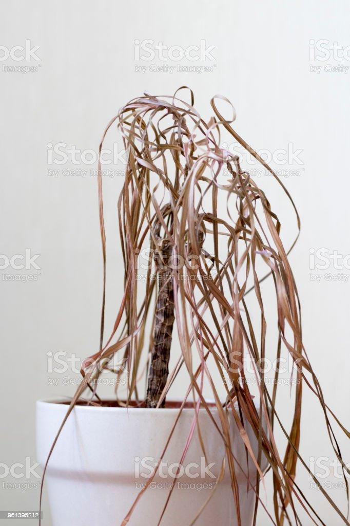 De gedroogde kamerplant - Royalty-free Begrippen Stockfoto
