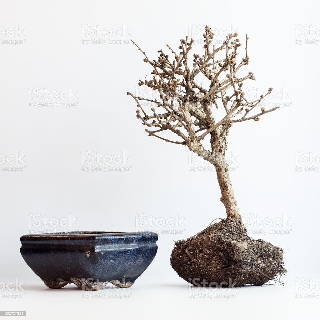 Сушеные up bonsai на светлый фон стоковое фото