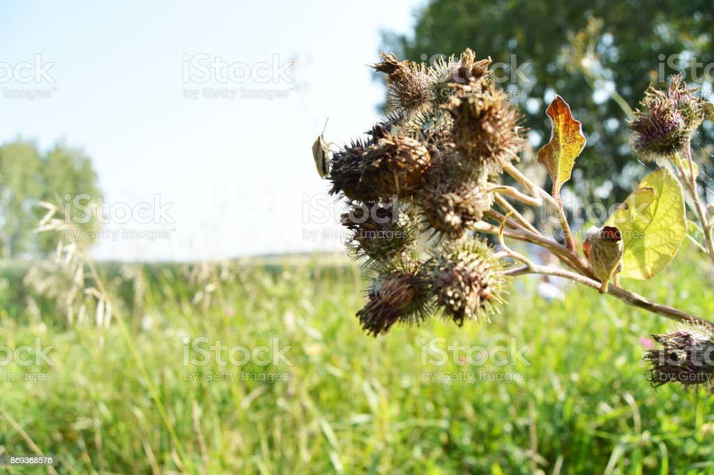The dry thorns of thistles, burdock, Thistle in the summer in the woods stock photo