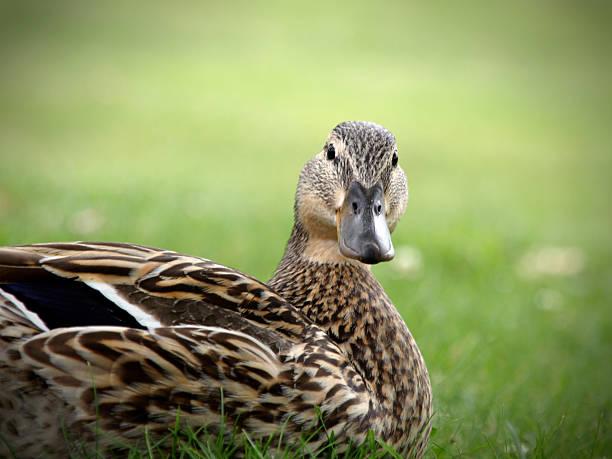 Die Duck – Foto