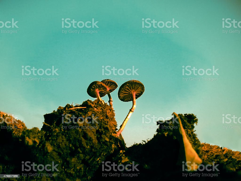 The Dung Fungus, Stropharia semiglobata stock photo