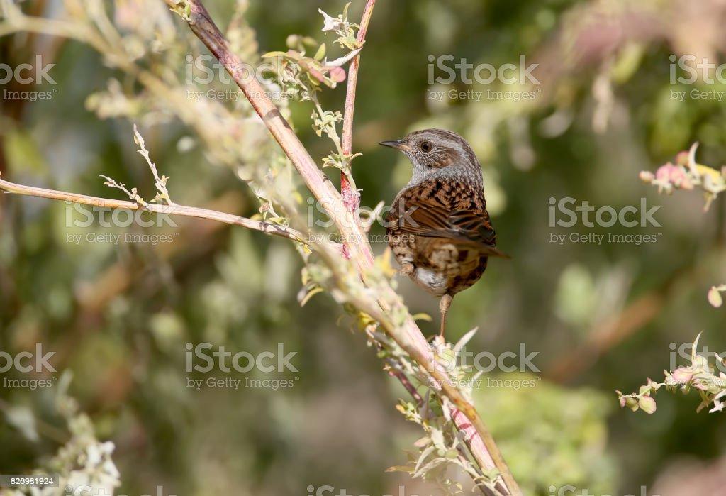 The dunnock (Prunella modularis) close up portrait. stock photo