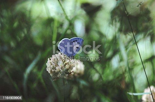 The Dusky Hedge Blue, a Himalayan Lycaenid, feeding on a Clover flower.