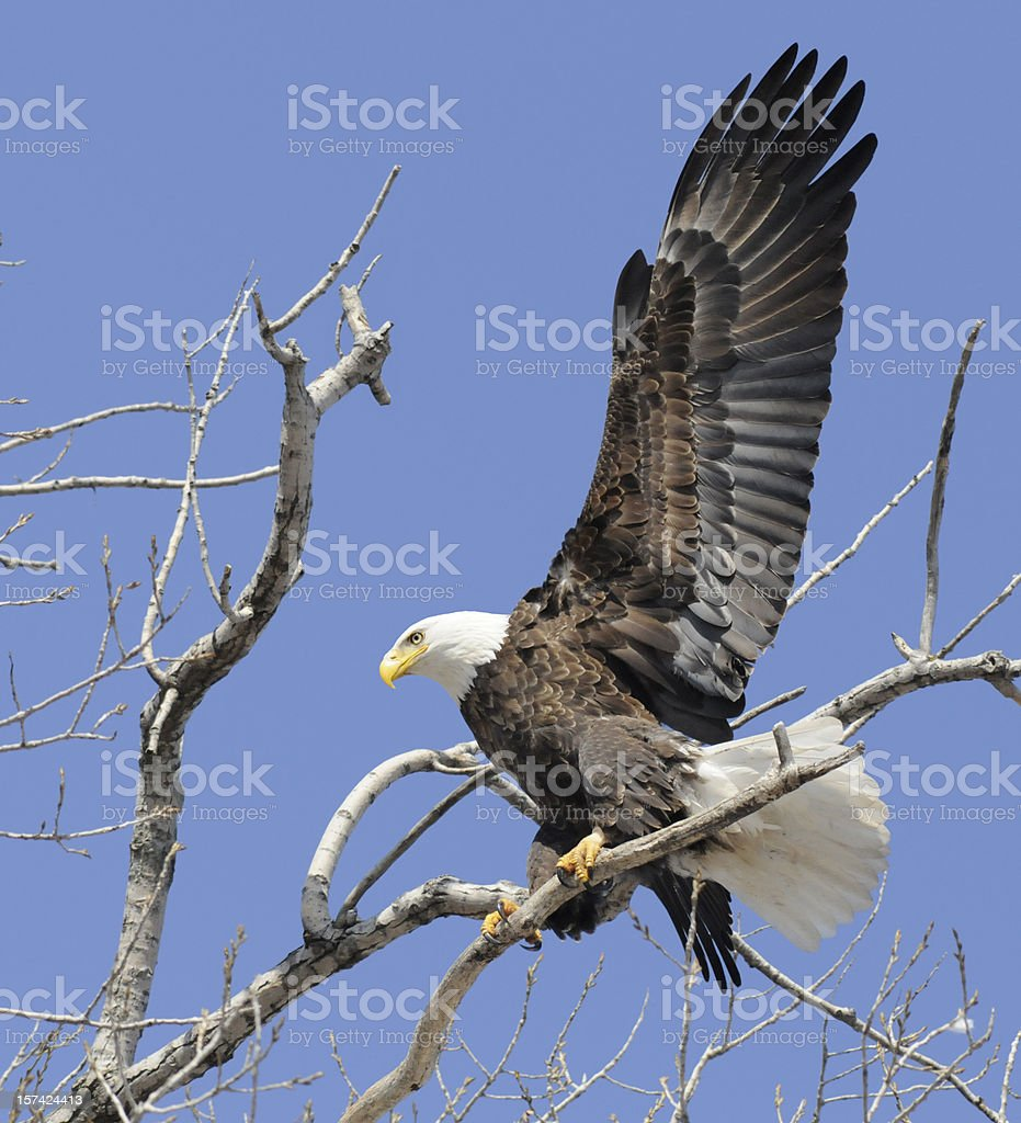 The Eagle Has Landed royalty-free stock photo