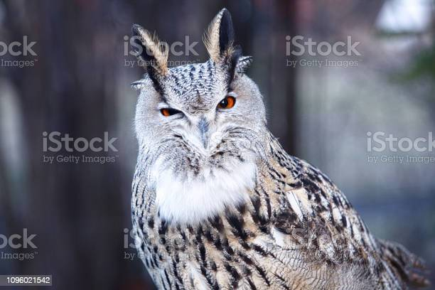 The eagle owl is in the russian animal park image picture id1096021542?b=1&k=6&m=1096021542&s=612x612&h=sr8qbivsqj3juz6vnearkumt9pnztue3c9dpxueoive=