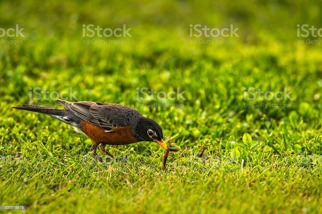 The early bird gets the worm, American Robin stock photo