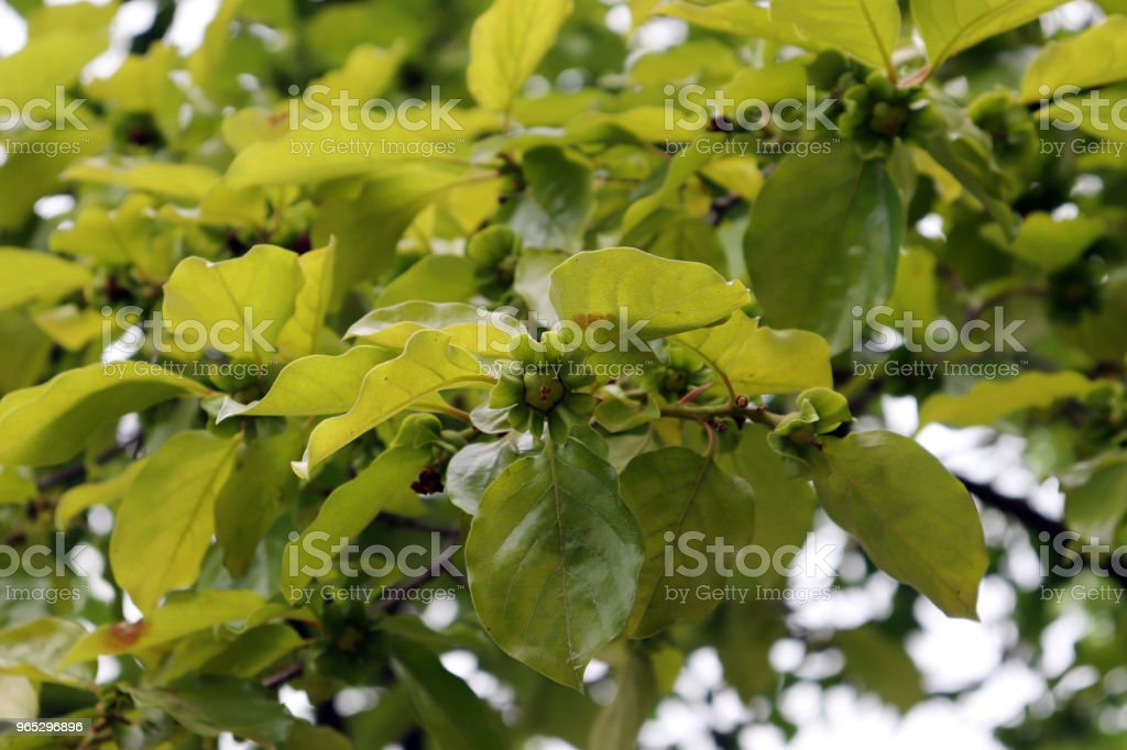 The early summer scenery where the fruit of the persimmon tree begins to grow. royalty-free stock photo