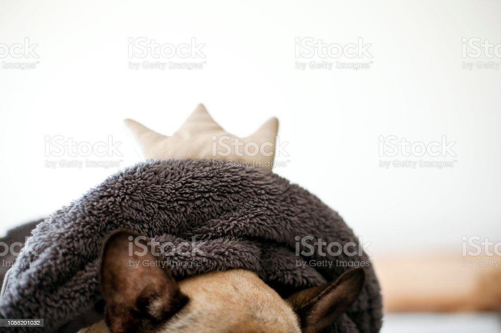 Die Ohren Der Eine Französische Bulldogge Stockfoto Und Mehr Bilder