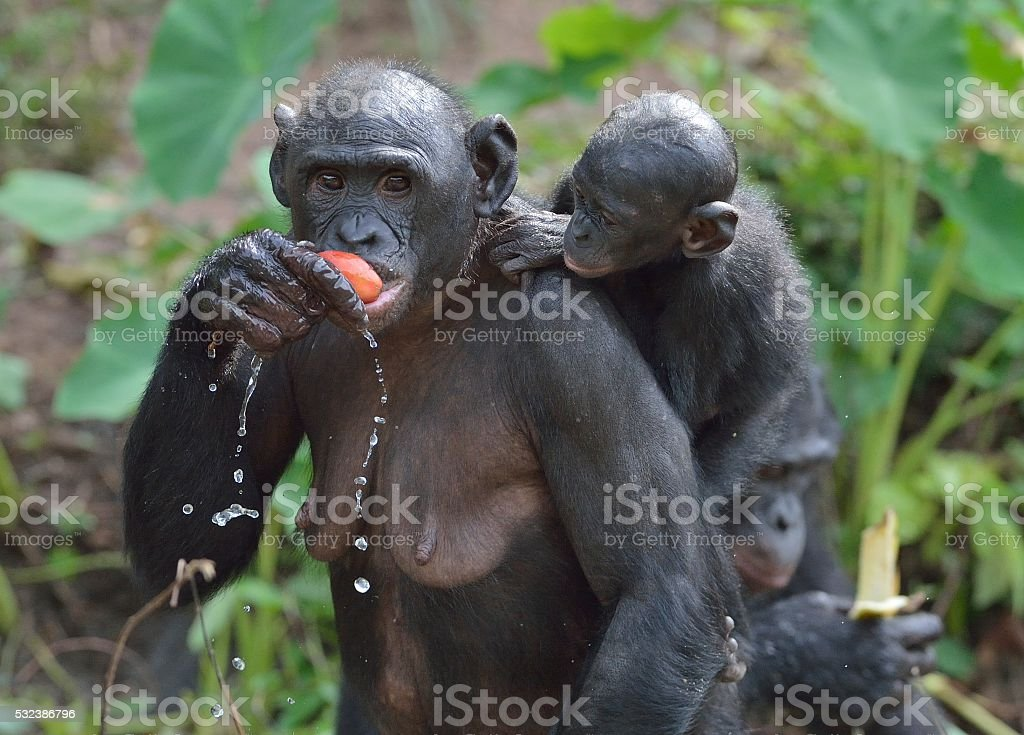 The Eating female Bonobo with a cub on a back. stock photo