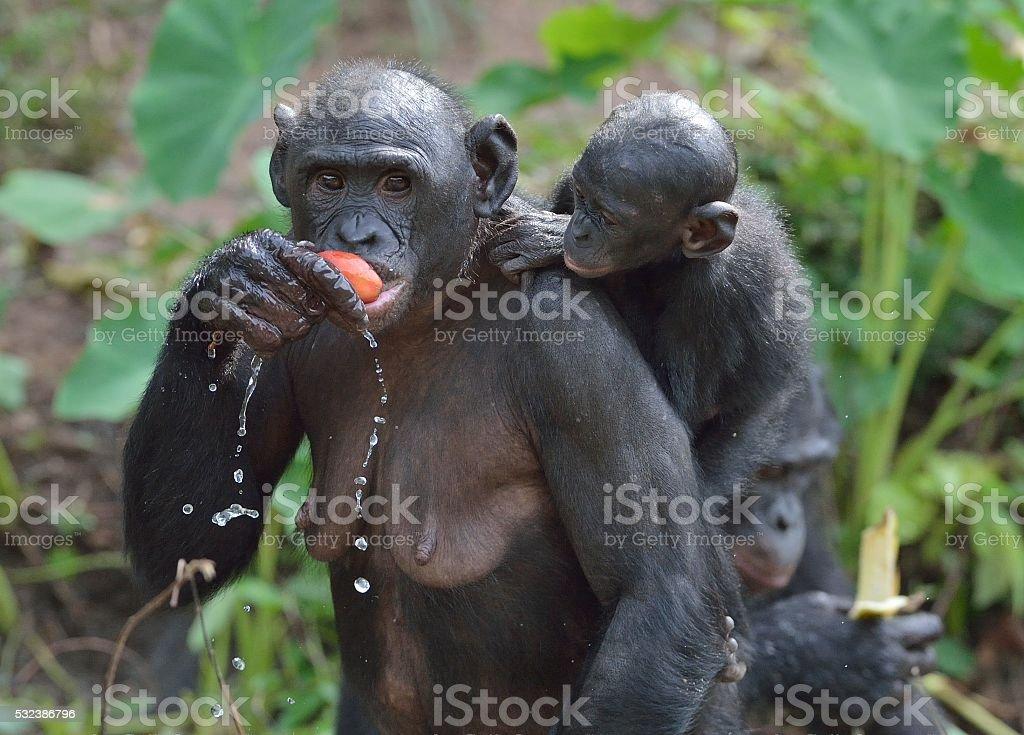 Chimpanzé pygmée la femme manger avec un bébé sur l'arrière. - Photo