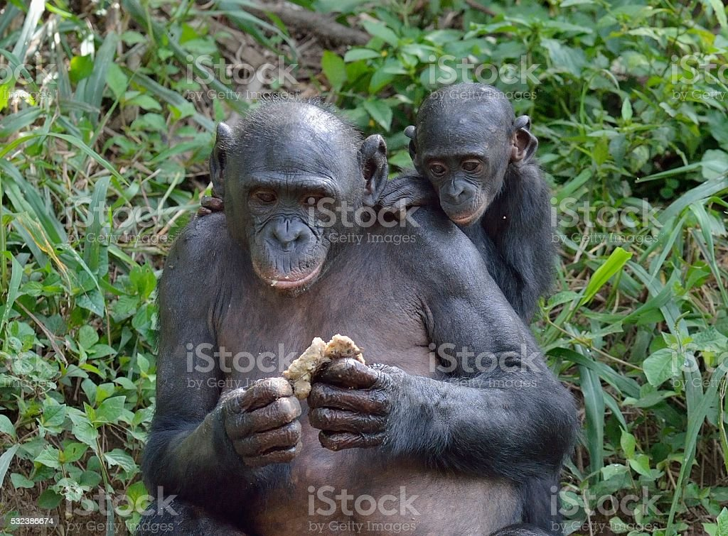The Eating female Bonobo with a cub. stock photo