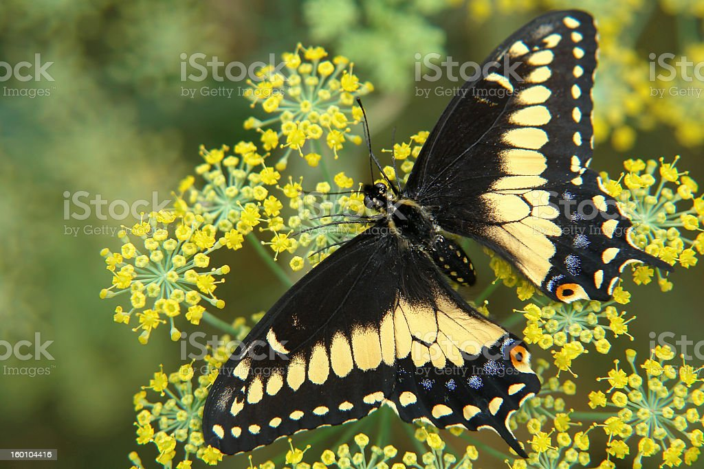 the ecuadorian butterfly sitting on flower stock photo