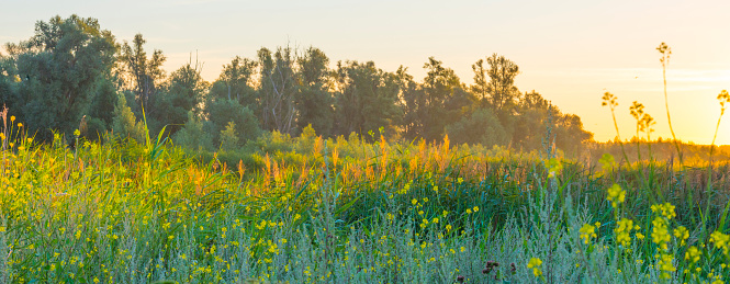 The edge of a lake with reed and colorful wild flowers at sunrise in an early summer morning under a blue sky, Almere, Flevoland, The Netherlands, July 31, 2020