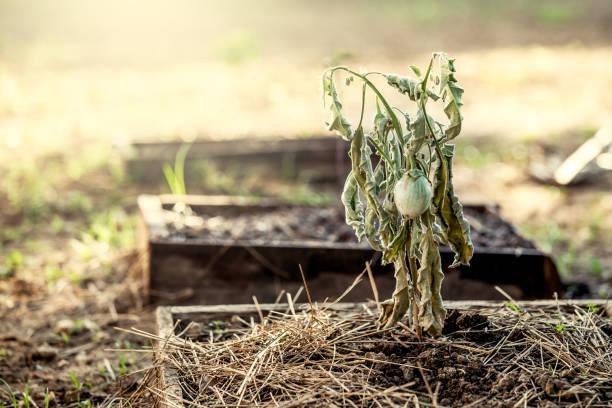 the eggplant on dead tree in the vegetable garden - planta morta imagens e fotografias de stock