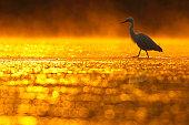 a egret in golden lake.