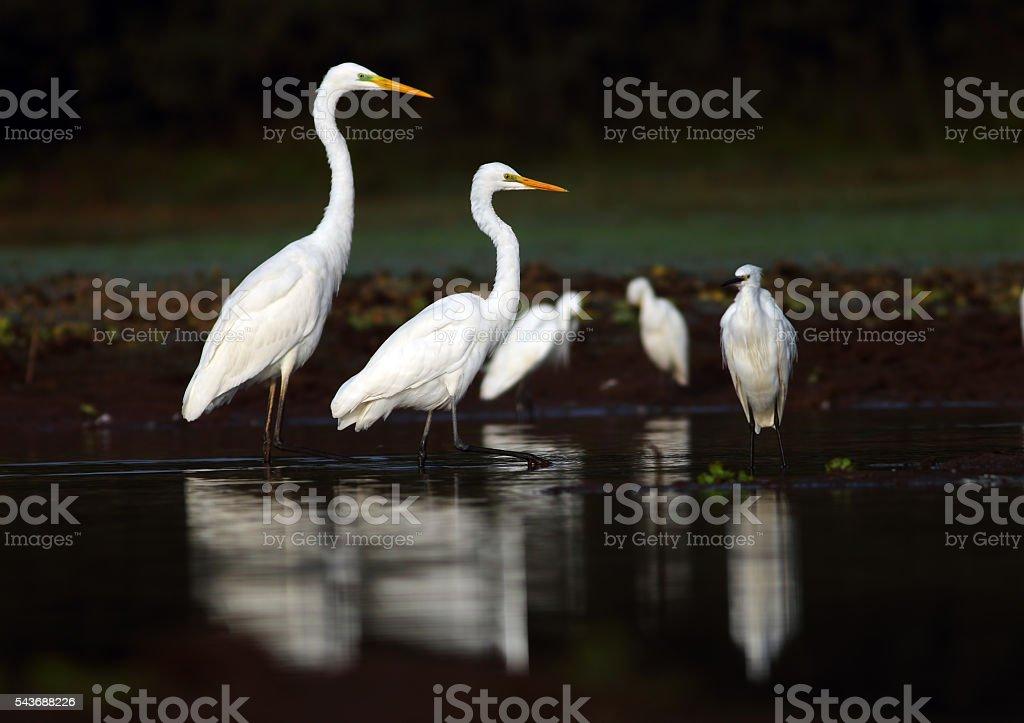 The egrets family stock photo