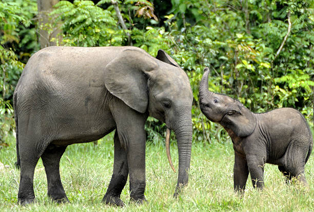 The elephant calf  with  elephant cow The elephant calf  and elephant cow The African Forest Elephant, Loxodonta africana cyclotis. At the Dzanga saline (a forest clearing) Central African Republic, Dzanga Sangha elephant calf stock pictures, royalty-free photos & images