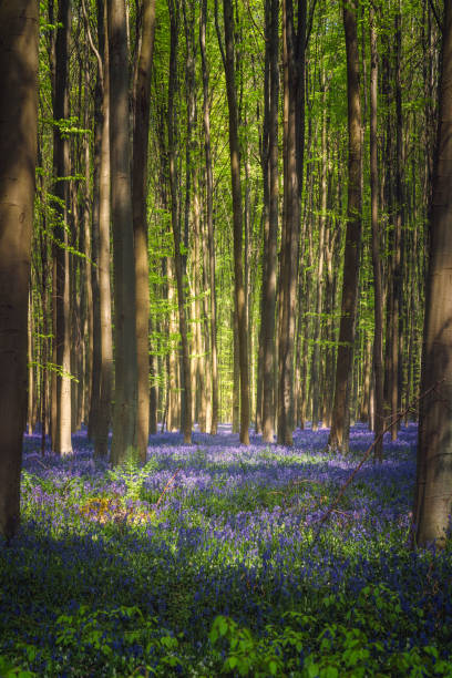 The enchanted blue forest. Hallerbos, Belgium The bluebells, which bloom around mid-April, create a beautiful purple carpet. The giant Sequoia trees are present in the forest. bluebell stock pictures, royalty-free photos & images