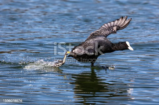istock The Eurasian coot, Fulica atra swimming on the Kleinhesseloher Lake at Munich, Germany 1336078574