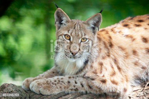 The Eurasian lynx (Lynx lynx) is a wild cat in Europe and Siberia