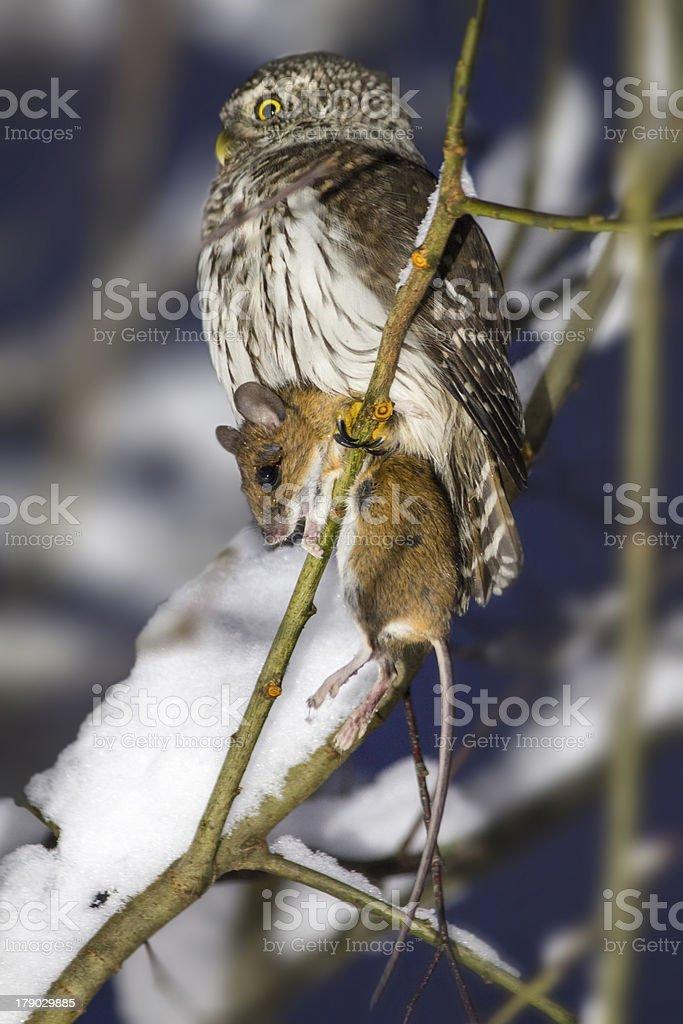 The Eurasian Pygmy Owl, Glaucidium passerinum royalty-free stock photo