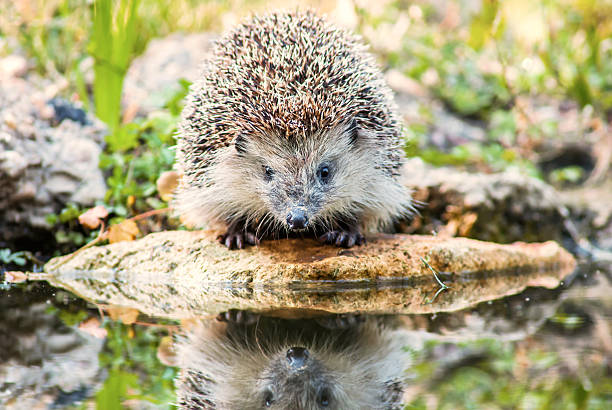 The European hedgehog stock photo