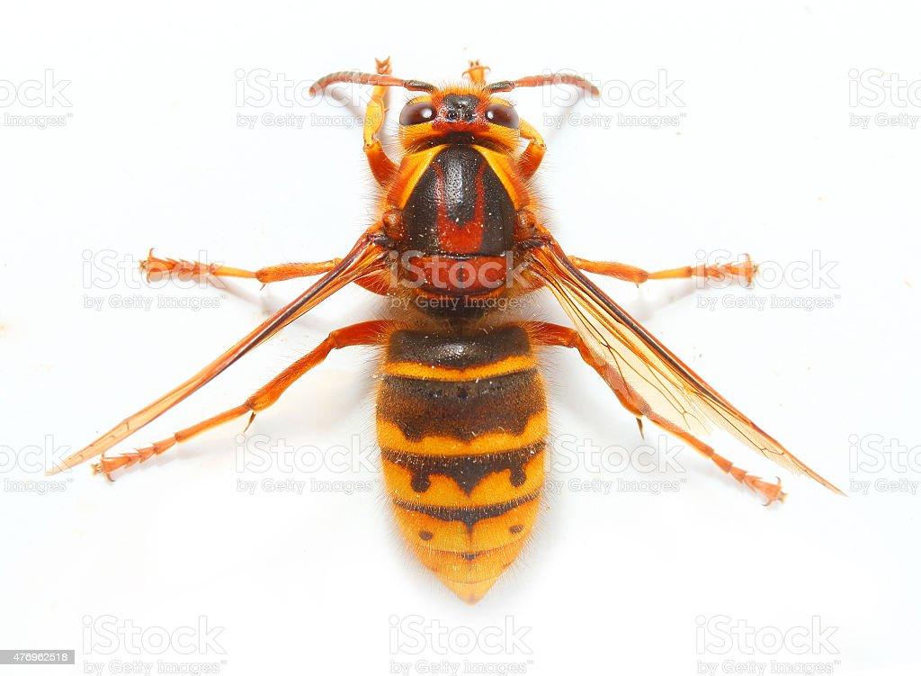 The European Hornet (Vespa crabro). stock photo