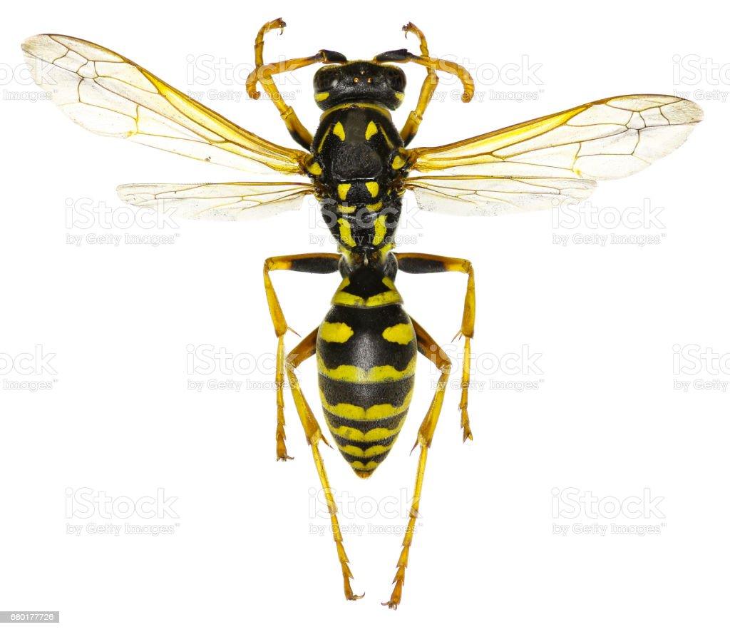 The European Paper Wasp on white Background  -  Polistes dominula (Christ, 1791) stock photo