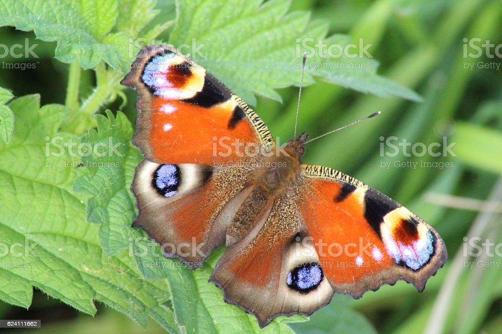 The European Peacock Butterfly. stock photo