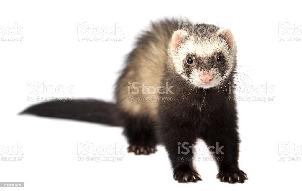 The evil ferret isolated stock photo