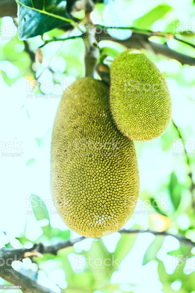 The exotic fruit of India hangs on a tree stock photo