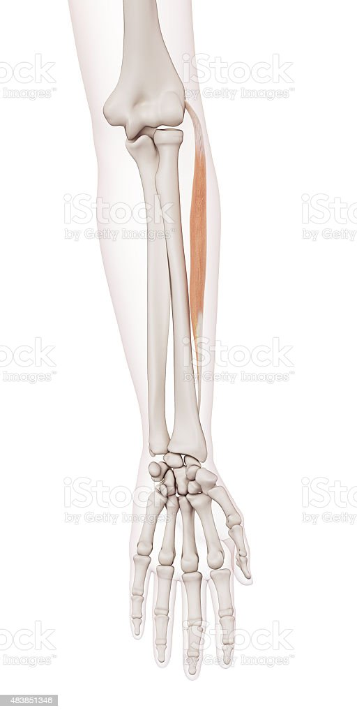 the extensor carpi radialis brevis stock photo more pictures of
