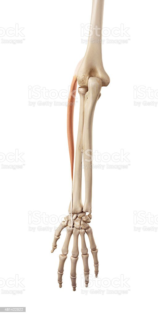 the extensor carpi radialis longus stock photo more pictures of