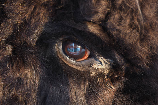 The eye of the beast is piercing picture id1135956524?b=1&k=6&m=1135956524&s=612x612&w=0&h=6m bowcy6oyy qtqv8g0jslfcufupqxbmcckjwumulm=