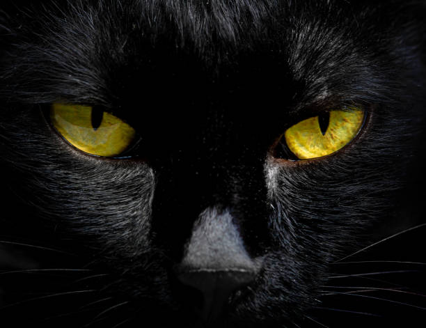 The eyes of a black cat are looking at you in darkness picture id956208354?b=1&k=6&m=956208354&s=612x612&w=0&h=mdxyycmbc7jdi3tk76wrvypbco 8usg3ugrftzlp4v4=