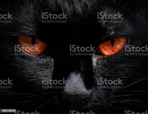 The eyes of a black cat are looking at you in darkness picture id956208392?b=1&k=6&m=956208392&s=612x612&h=bnpo8q4baxvsrompe e546bs1udrlmnk9 we5vvzhka=