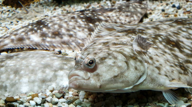 The eyes of a flounder fish stock photo