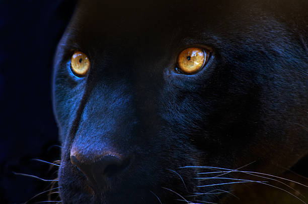 The eyes of a predator​​​ foto