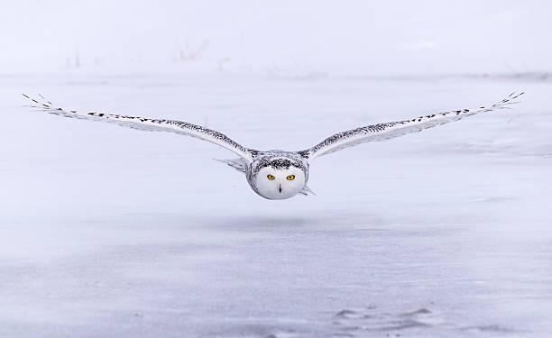 The eyes of the snowy owl picture id521549044?b=1&k=6&m=521549044&s=612x612&w=0&h=3xgtu7dmzduwlbg0bqbhtcpcb7ou72jhbbwykqhdjoa=