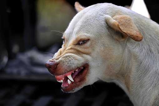 istock The face of a fierce dog can be seen chewing and the tongue. 1180128564