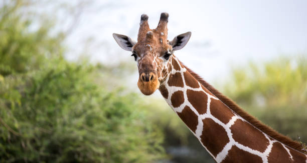 le visage d'une girafe en gros plan - girafe photos et images de collection
